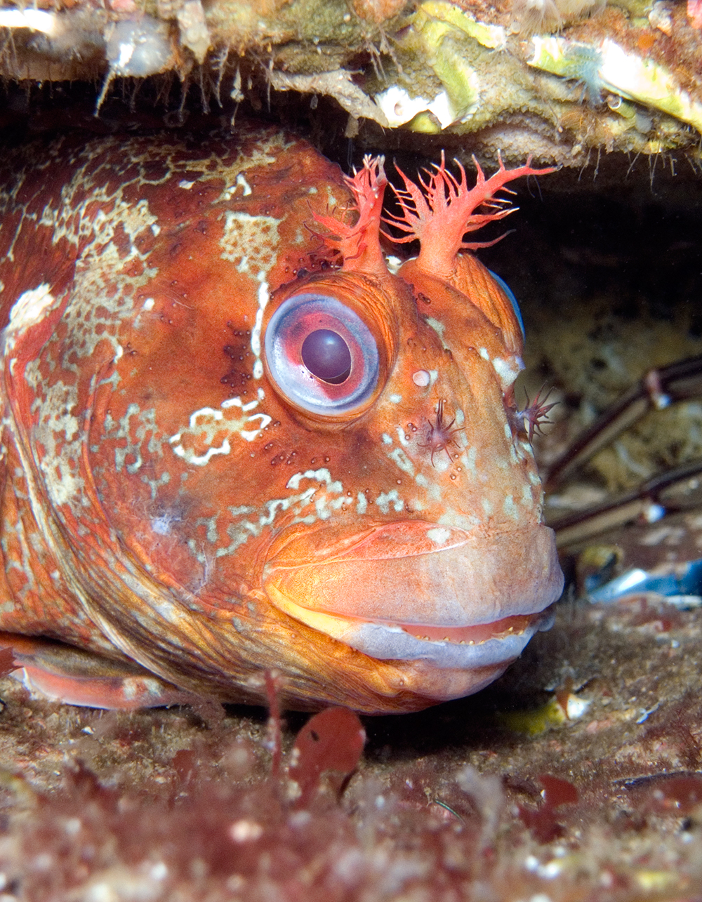 warrant tompot blenny My third new species of the trip and my first ever hairy blenny  i'll make it over  or perhaps la graciosa warrants spending an entire holiday.